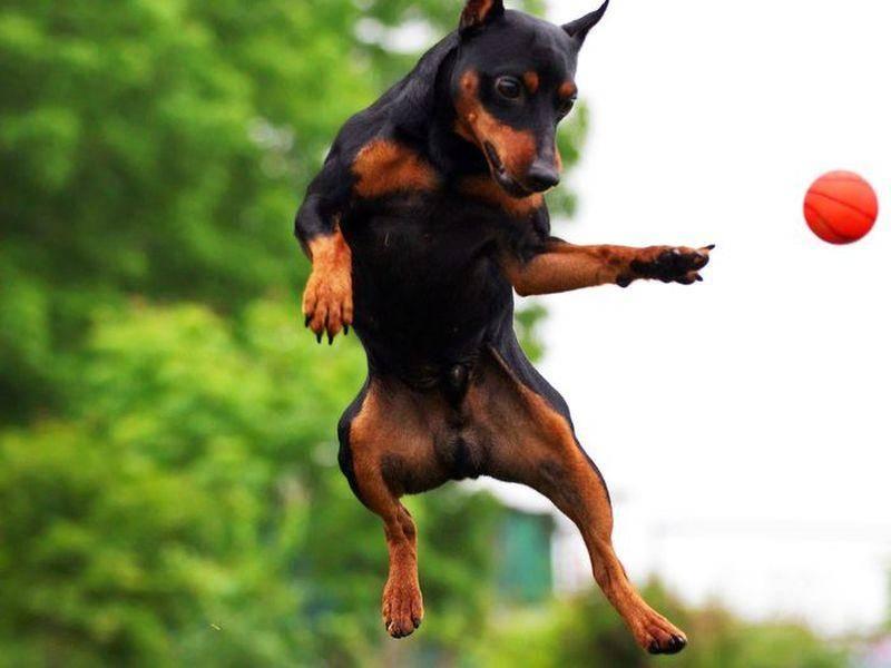 Dobermann Hund springt nach einem Ball
