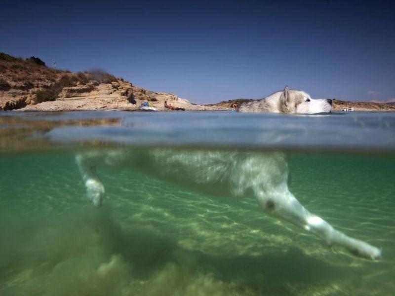 Schwimmender Husky Hund