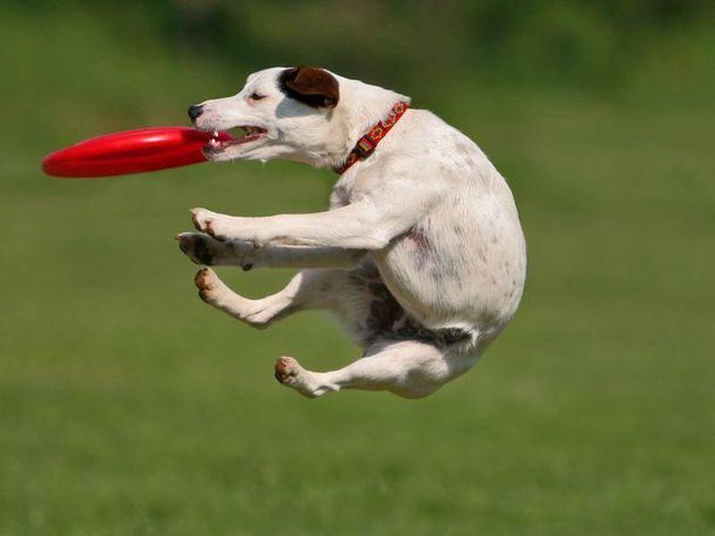 Jack Russell Hund im Flug