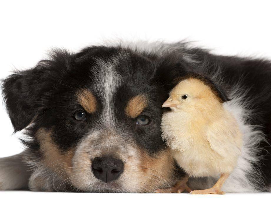 Hund-Kueken