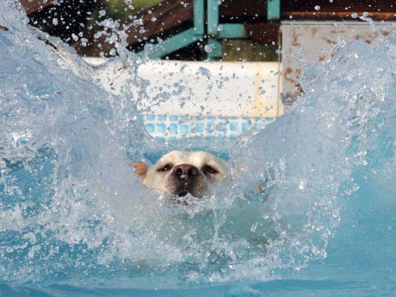 Labrador Retriever Hund mit Wasser-Faible
