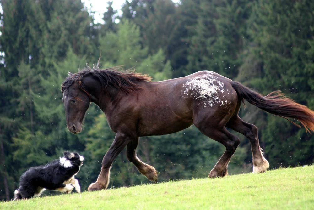 Hund-Pferd-Spielen-Wiese