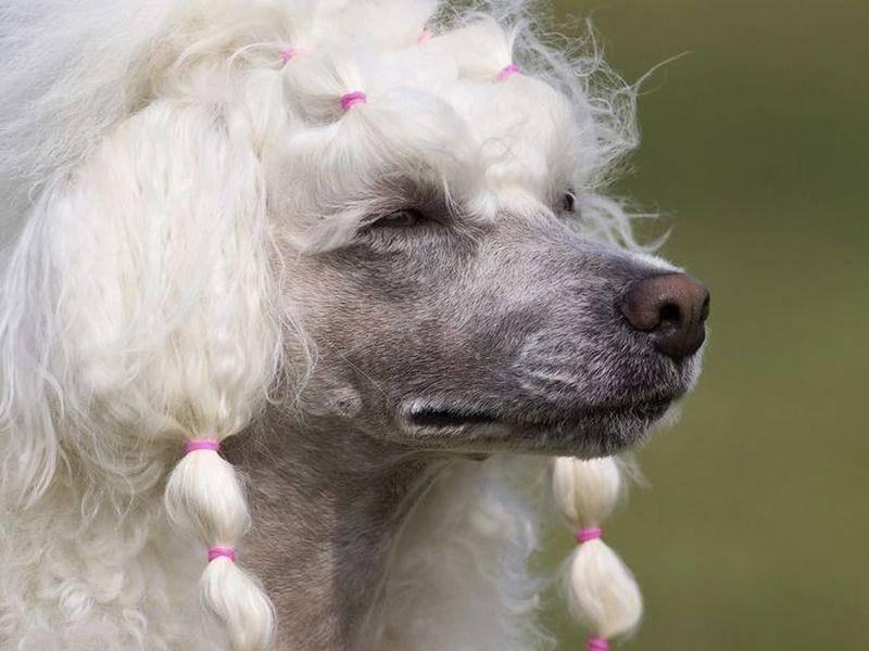 Damenhafter Pudel Hund