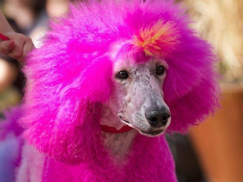 Hund-Pudel-Rosa-Peruecke-Frisur