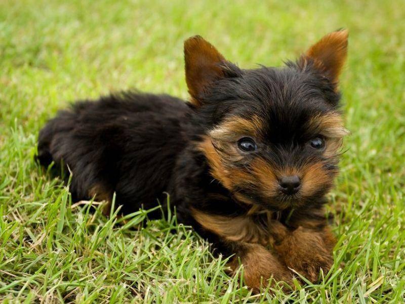 Terrier Hund im Miniformat