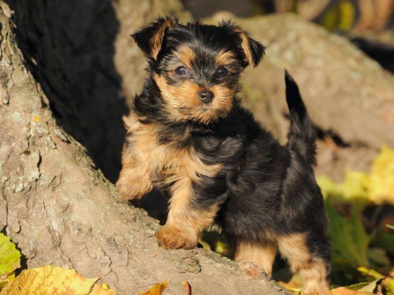 Yorkshire Terrier Hund im Freien