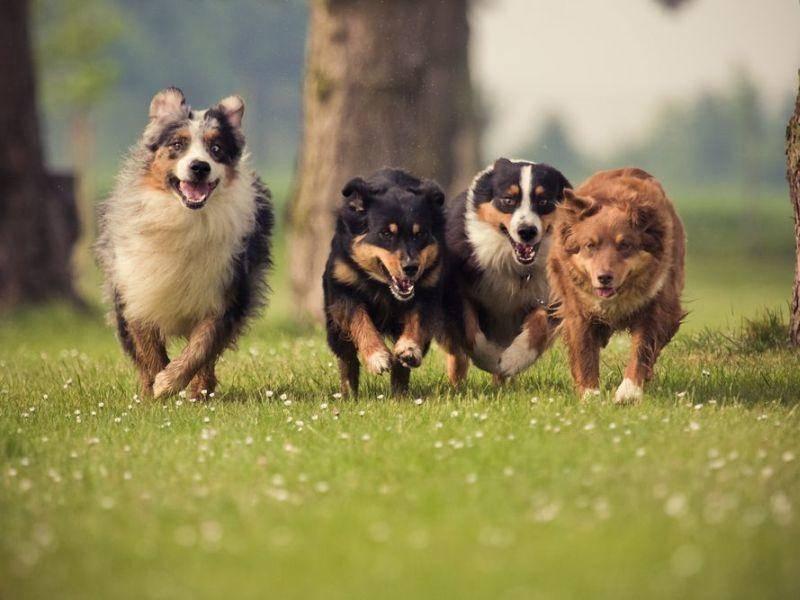 Wer ist der schnellste Hund? Australian Sheperds beim Wettrennen