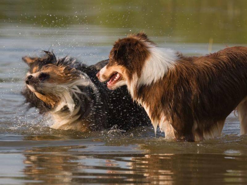 Plitsch, Platsch: Zwei Australian-Sheperd-Hunde beim Spielen im Wasser