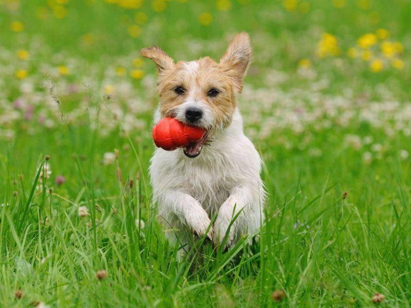 Jack Russel Hund spielt auf der Wiese