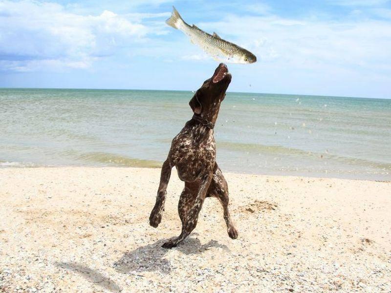 Jagdhund-Springt-Meer-Fisch-Strand
