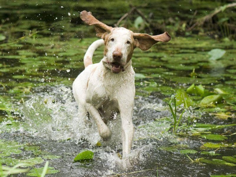 Jagdhund-Wasser
