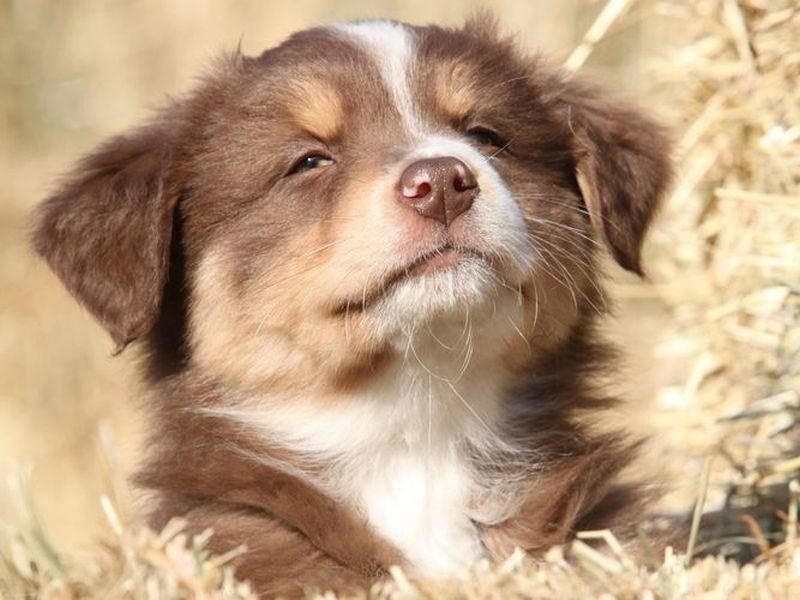 Ein Australian-Sheperd-Junghund guckt frech aus der Wäsche - äh, aus dem Stroh ; )