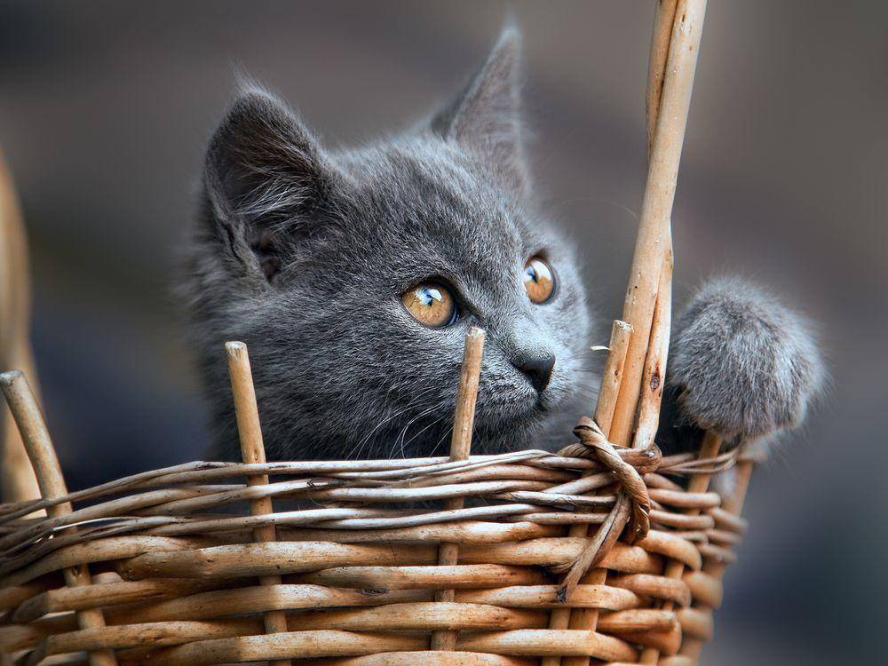 Britisch Kurzhaar Katzenbaby im Korb