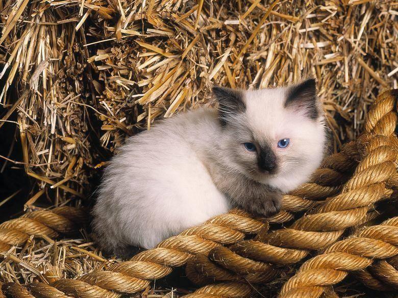 Ragdoll-Katzen erkunden gern ihre Umwelt