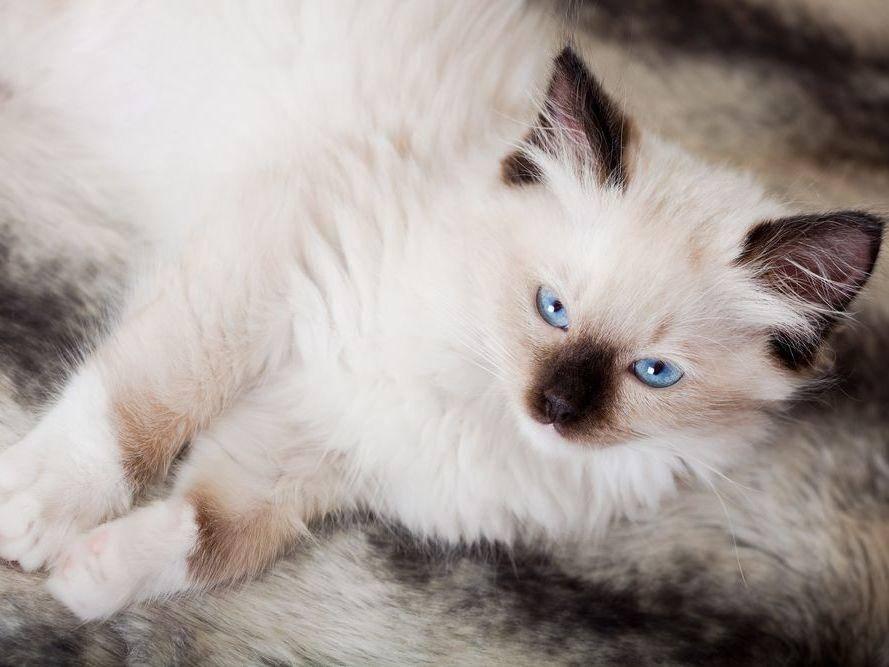 Ragdoll-Katzen lieben´s gemütlich wie dieser Jungspund hier