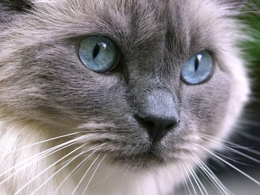 Ragdoll-Katze: Die blauen Augen sind ein Erkennungszeichen