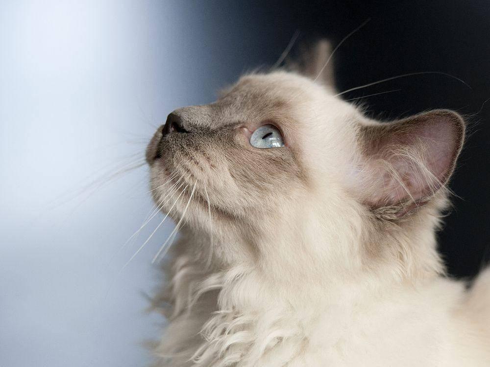 Schöne Ragdoll-Katze im Profil
