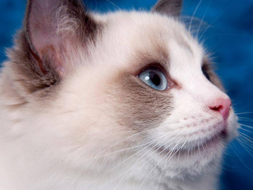 Die Ragdoll-Katze ist neugierig, wie die meisten ihrer Artgenossen