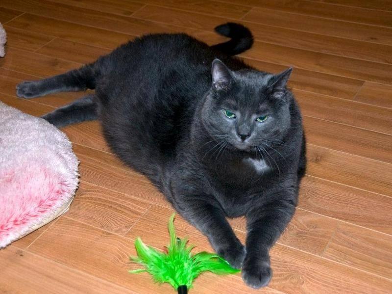 Tiny als dicke Katze mit Übergewicht vor der Facebook-Diät