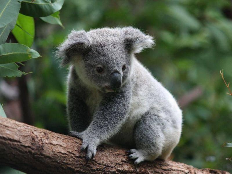 Niedlicher Baumbewohner: Der Koala Bär