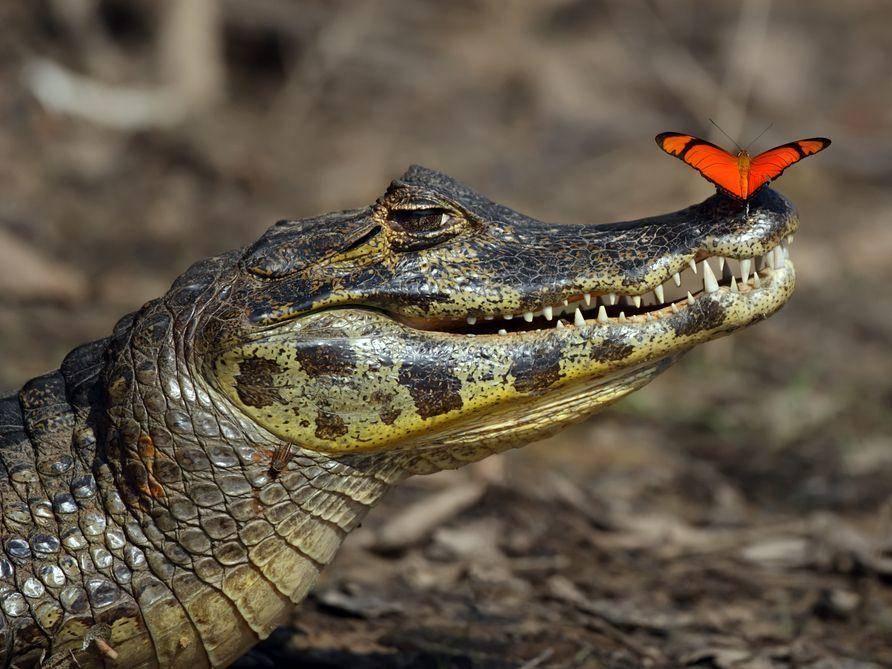 Krokodil-Schmetterling