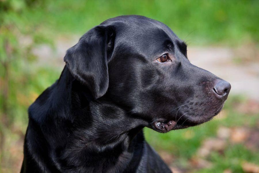 Schwarzer Labrador Retriever Hund
