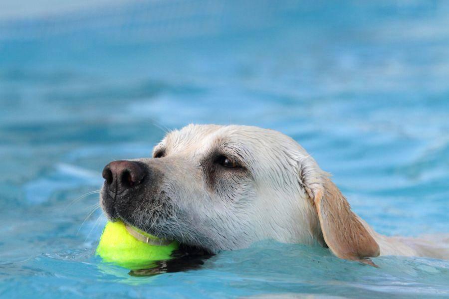 Ball aus dem Wasser holen? Na klar! Labrador Retriever Hund beim apportieren