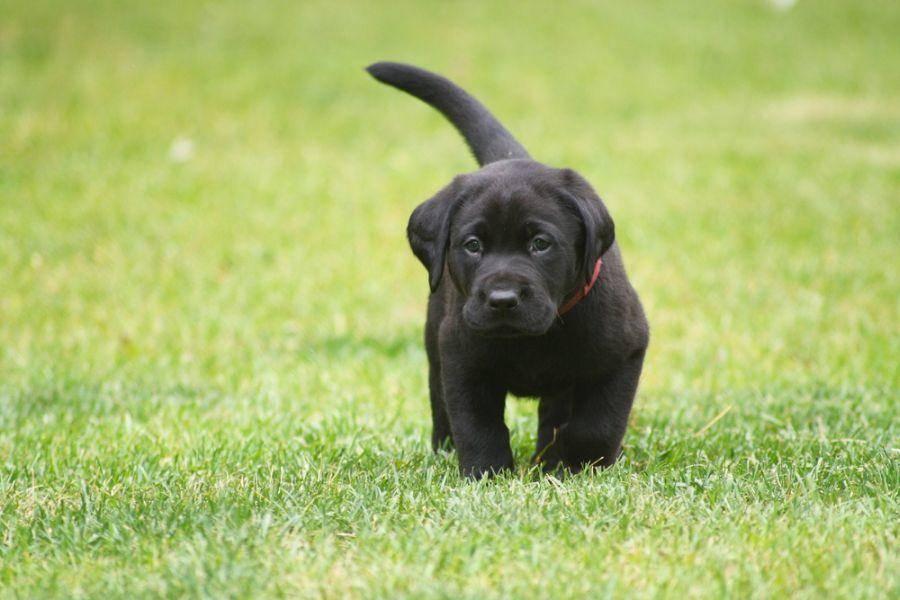 Noch ganz klein: Ein junger Labrador Retriever Hund auf Tour