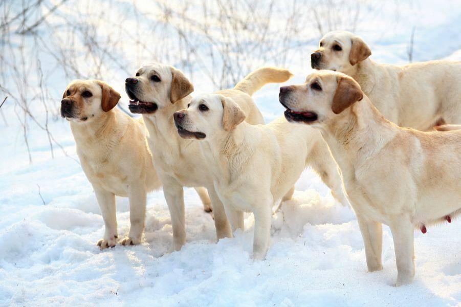 Gut zuhören: Labrador Retriever Hunde zeichnen sich durch ihre hohe Lernbereitschaft aus