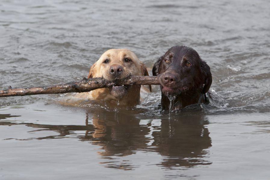 Zu zweit nach dem Stöckchen schwimmen? Für Labrador Retriever Hunde auch kein Problem ; )