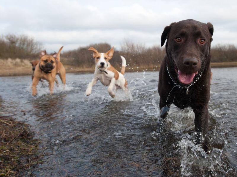 Labrador-Retriever-Hunde-Wasser
