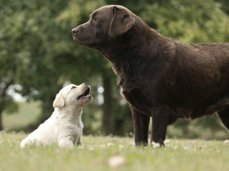 Kein Ei gleicht dem anderen: Labrador Retriever Hunde gibt es in den Farben Schwarz, Gelb und Schokobraun