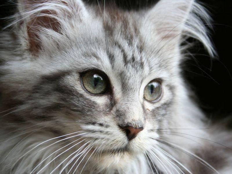 Maine-Coon als eine der größten Katzenrassen kostet zwischen 500 und 1.200 Euro