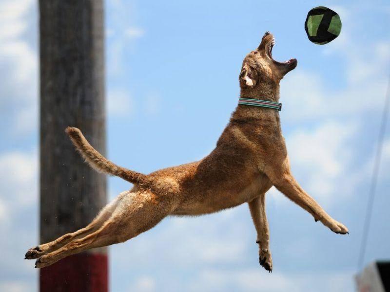 Mischlingshund springt nach einem Ball