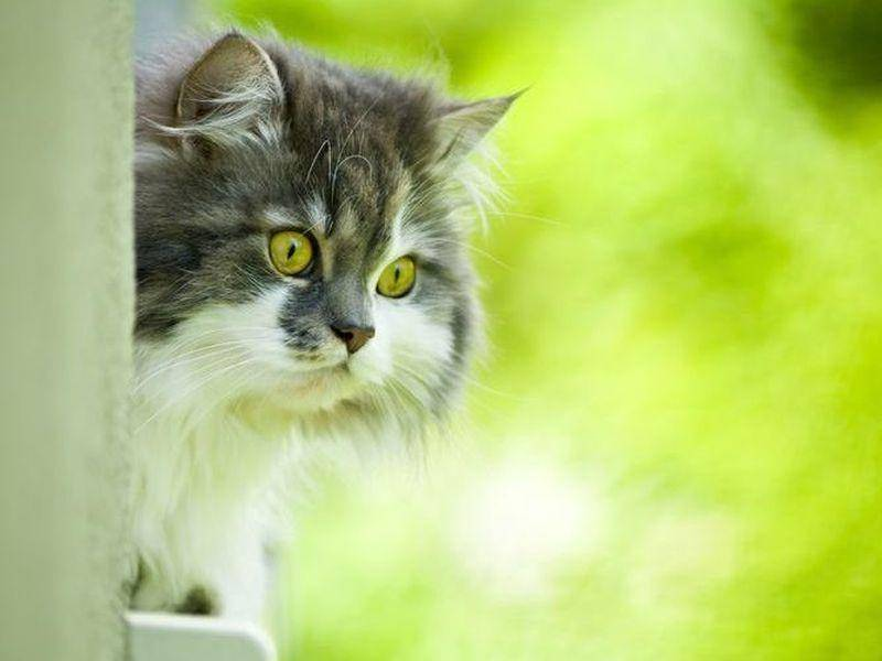 Norwegische Waldkatze im Garten