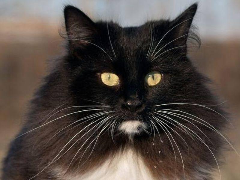 Platz 4: Liebevoller Stubentiger mit dichtem Pelzkragen: Norwegische Waldkatze