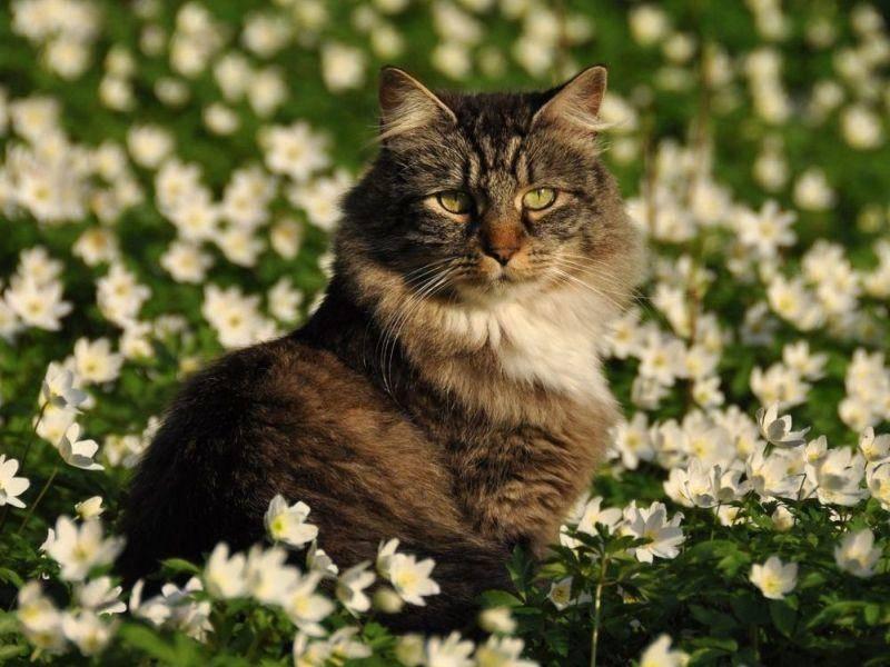 Norwegische Waldkatze auf Blumenwiese