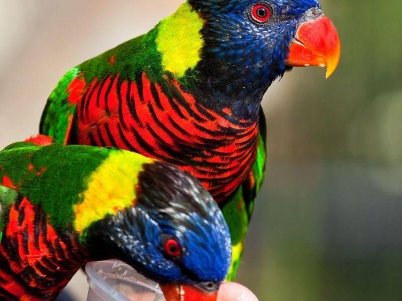Ein Traum in bunt: Papageien Vogelpaar