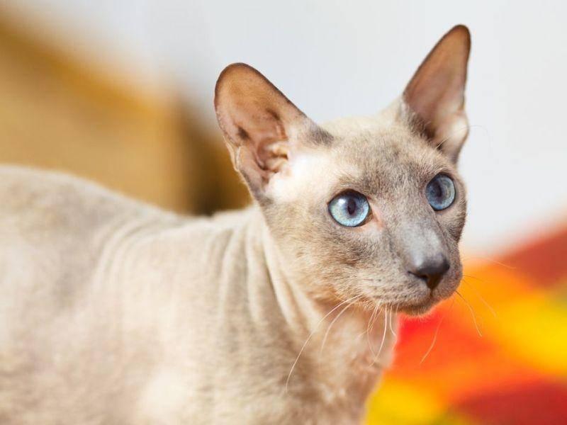 Peterbald Katze aus Russland ist je nach Qualität für 500 bis 2.500 Euro zu haben