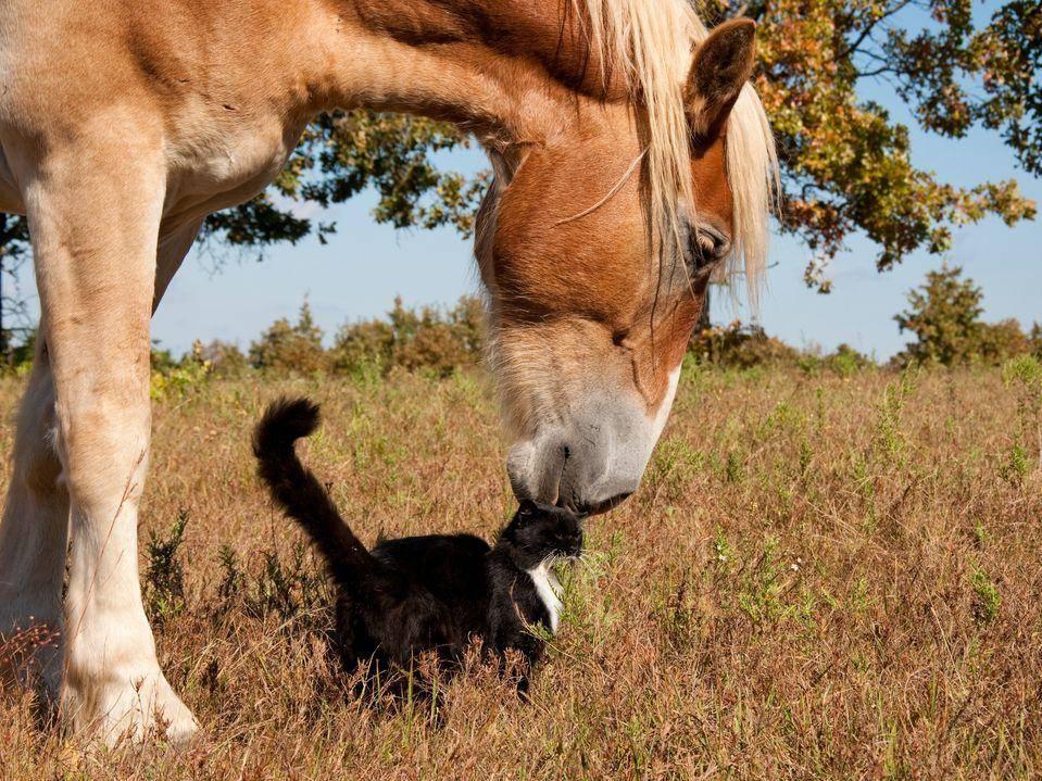 Pferd-Katze-Wiese