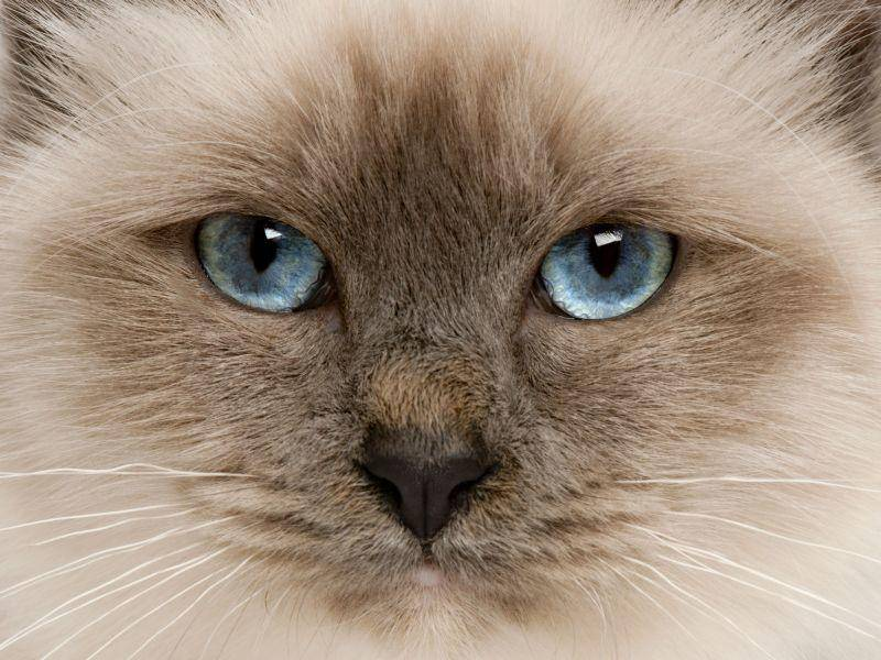 Point-Katze-Blaue-Augen