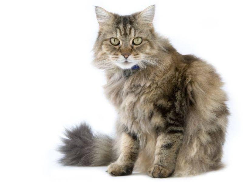 RagaMuffin, eine ausgesprochen freundliche Katze, die sich auch in der Wohnung wohlfühlt