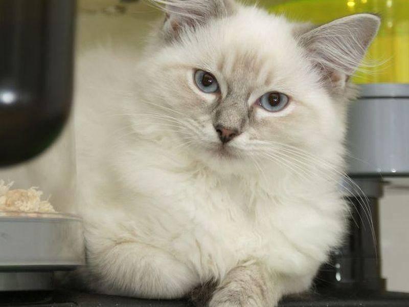 Die Ragdoll, eine muskulöse Katze, die bereits in den 1960er-Jahren gezüchtet wurde