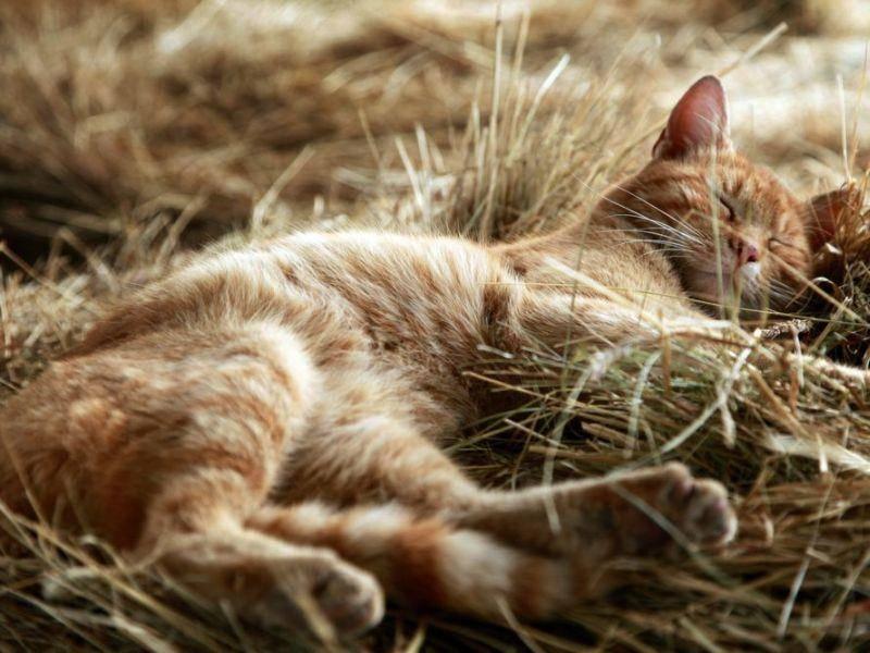 Rote-Katze-Heu-Schlafen
