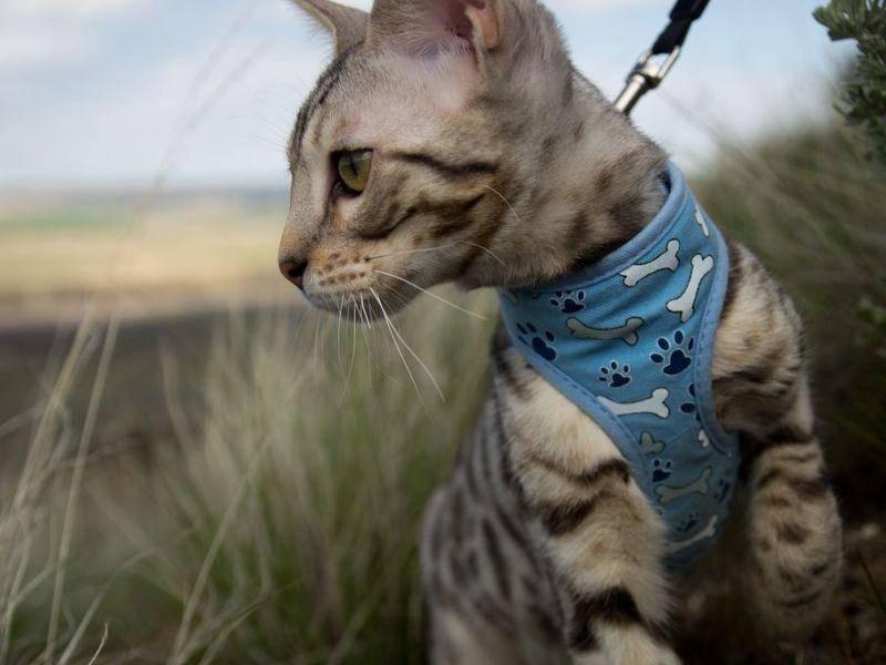 Savannah-Katze, eine exotische Rasse, die mit ihrer Tüpfelung einem kleinen Raubtier ähnelt