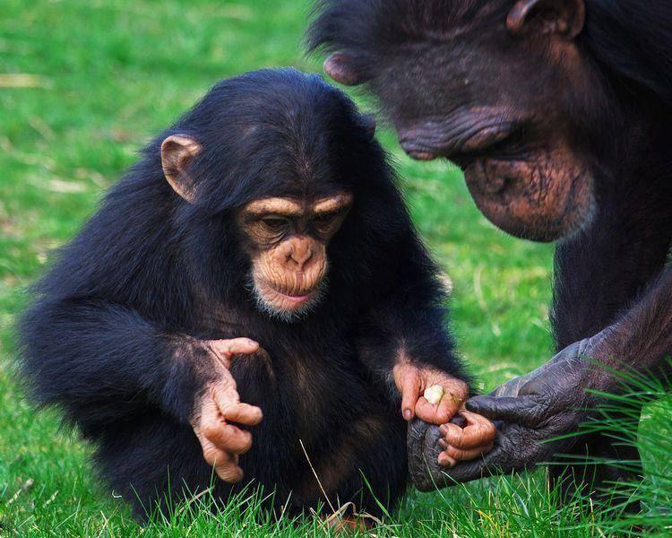 Schimpanse-Baby-Mutter