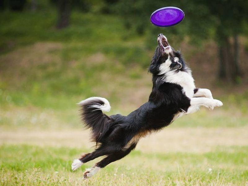 Schwarz-Weisser-Hund-Springt-Frisbee