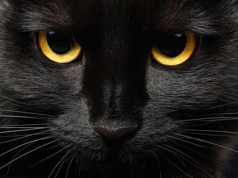 Schwarze-Katze-Orange-Augen
