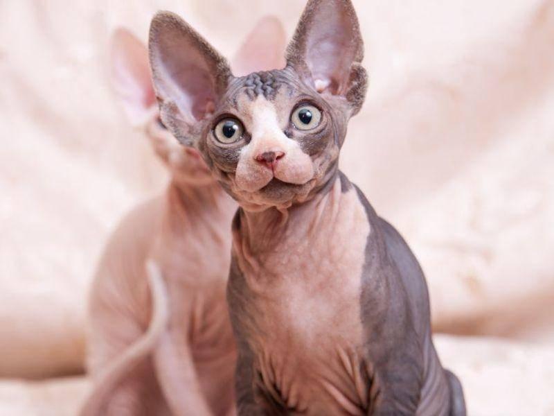 Sphynx-Katze als Vertreter kanadischer Schnurrer kostet zwischen 800 und 2.500 Euro