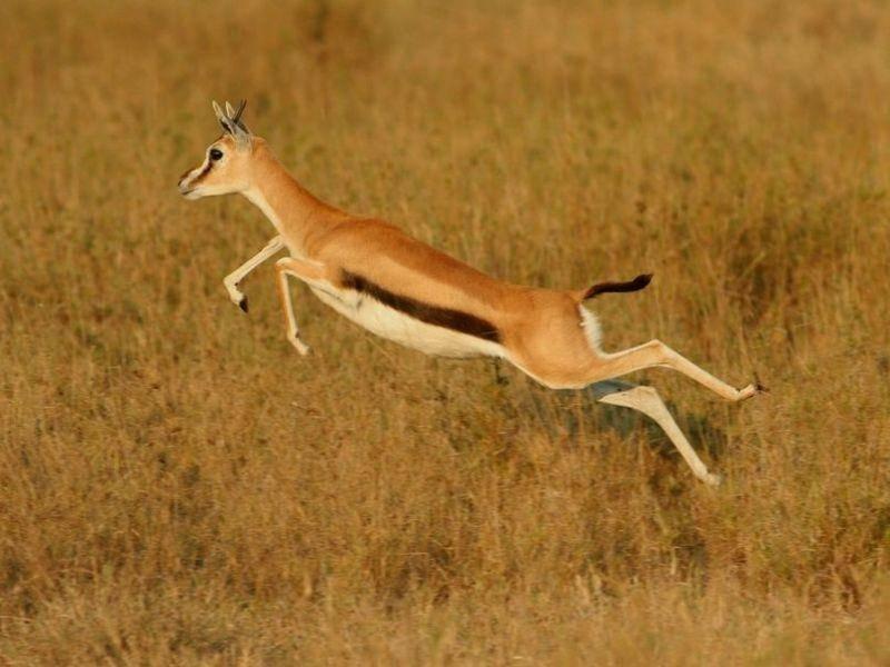 Thomson Gazelle rennt